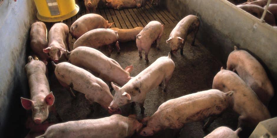Peste porcine africaine: abattre des animaux sains et ne pas les commercialiser? - La Libre