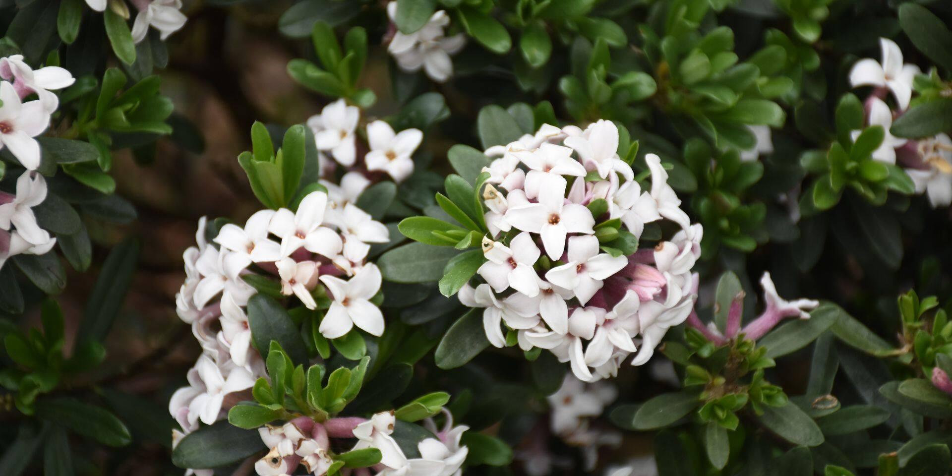 Nature: le daphné, bois gentil et parfum en hiver