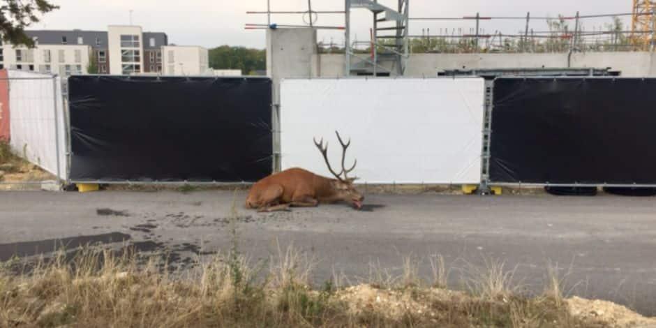 Traqué lors d'une chasse à courre, un cerf épuisé trouve refuge en plein centre-ville