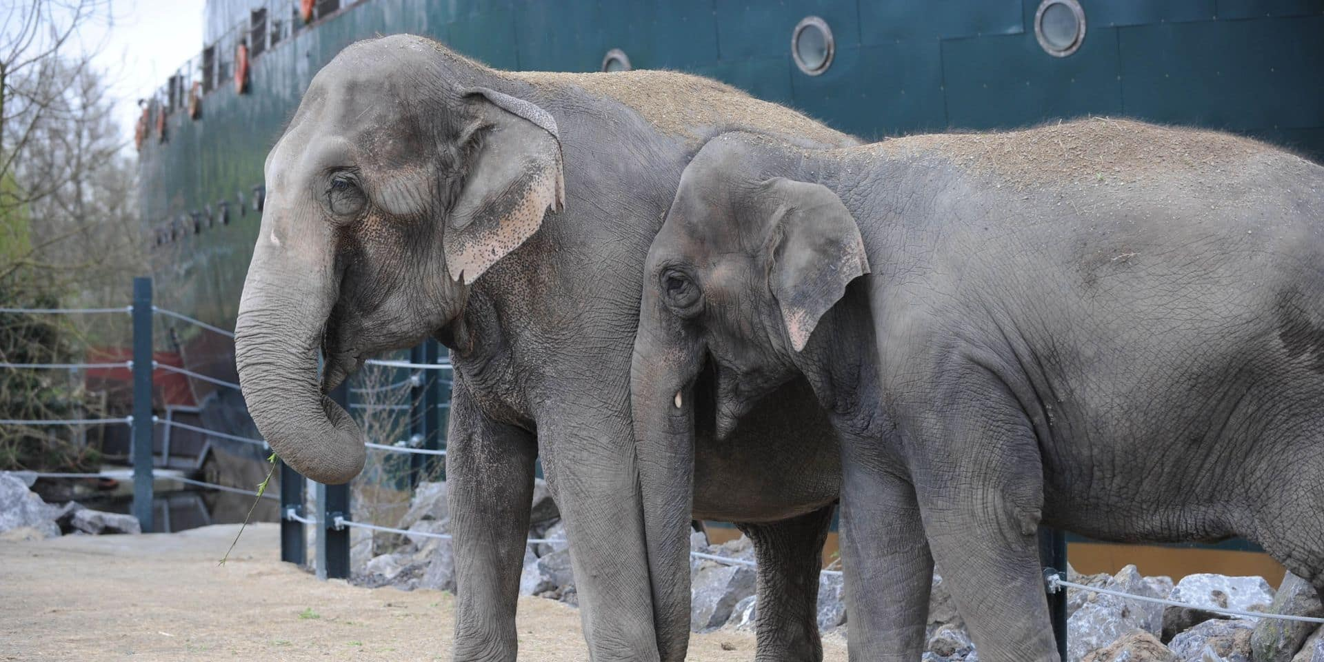 La famille des éléphants d'Asie de Pairi Daiza va s'agrandir en fin d'année