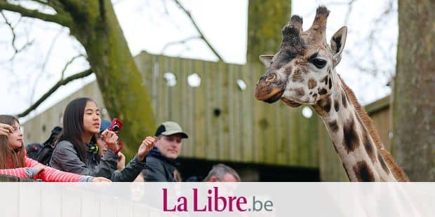 Illustration picture shows a giraffe at the Pairi Daiza animal park, Monday 09 April 2018, in Brugelette. BELGA PHOTO BRUNO FAHY