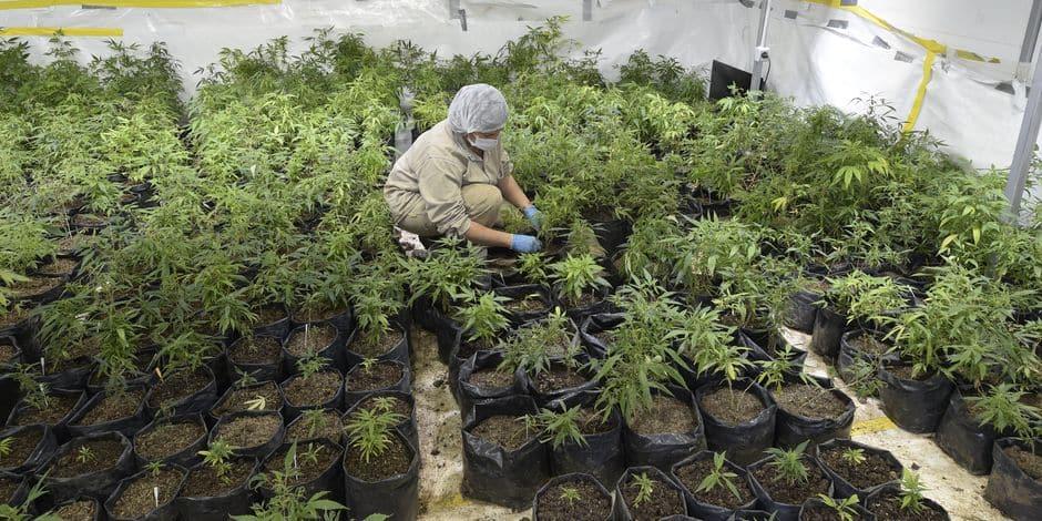 Cannabis thérapeutique, l'Agence du médicament va se prononcer