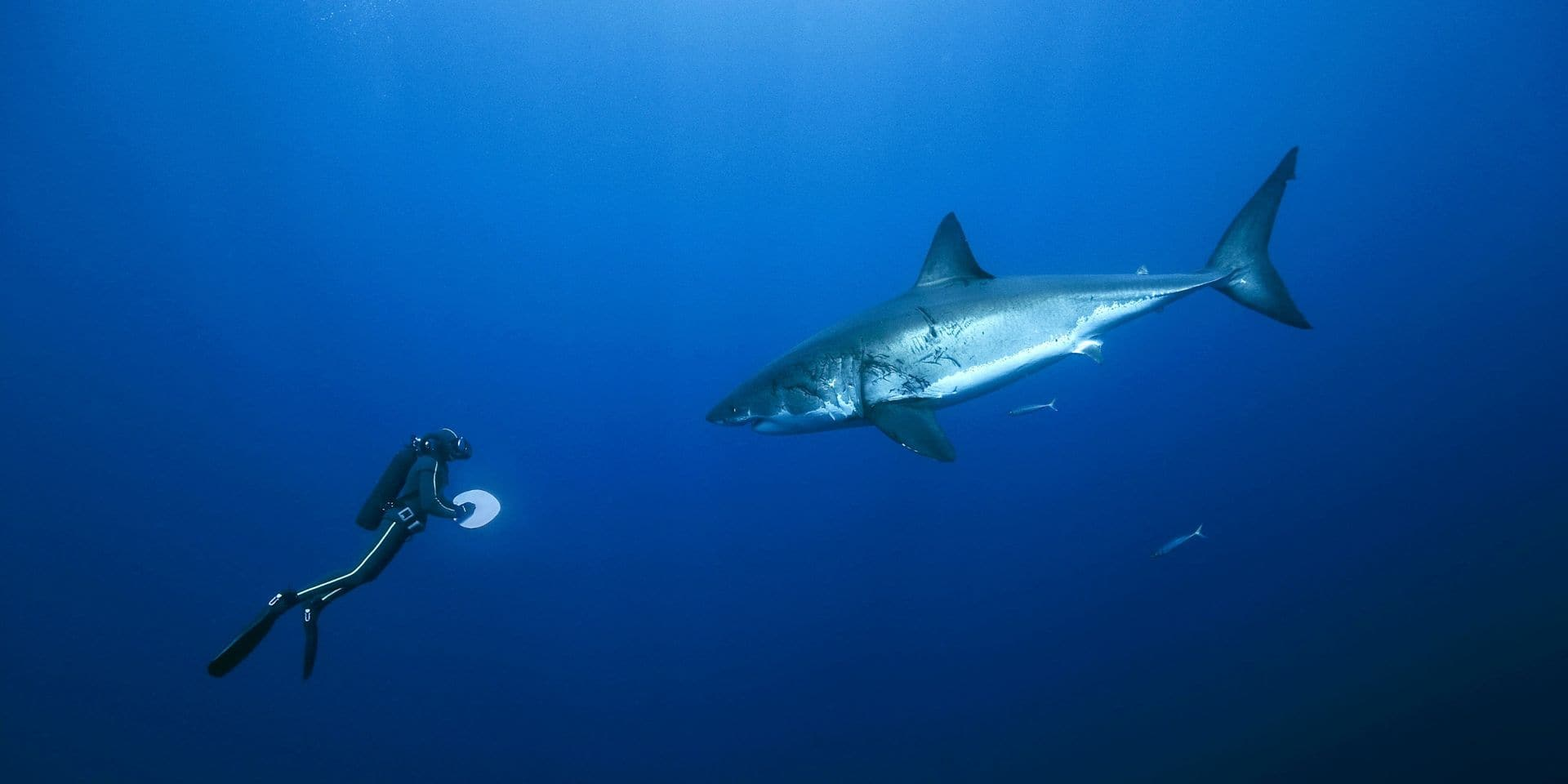 Un requin blanc meurt la tête coincée dans une cage à touristes