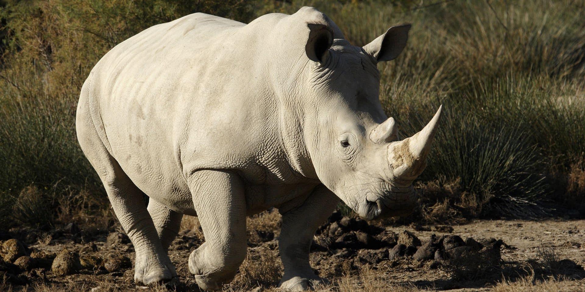 Sana, la doyenne des rhinocéros blancs en captivité est décédée à 55 ans