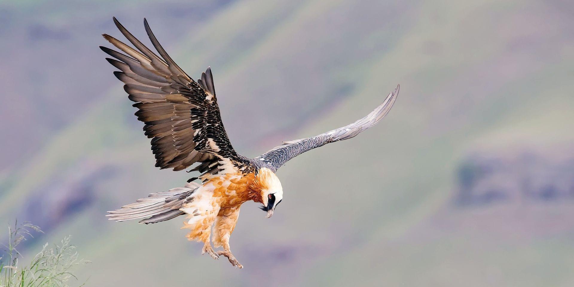 Pourquoi le retour remarqué des vautours dans les montagnes de France s'avère très utile