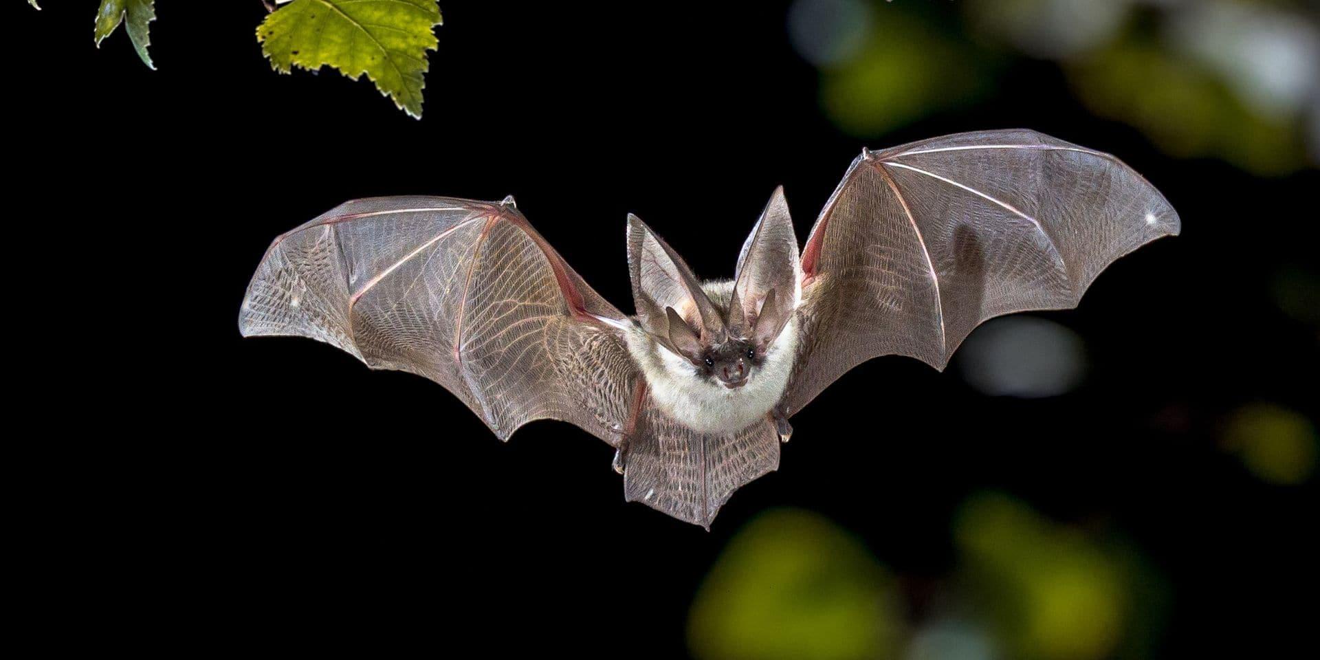 Ces étonnantes capacités des chauves-souris qui en font des réservoirs à pandémies