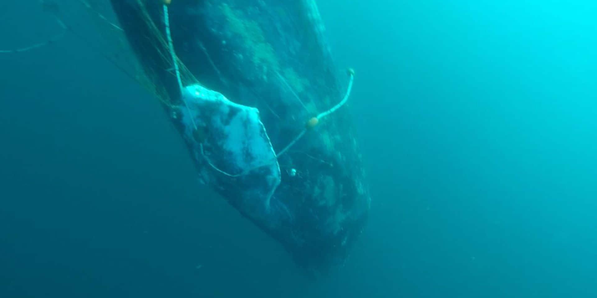 Au Brésil, bras de fer entre pro et anti-chasse à la baleine