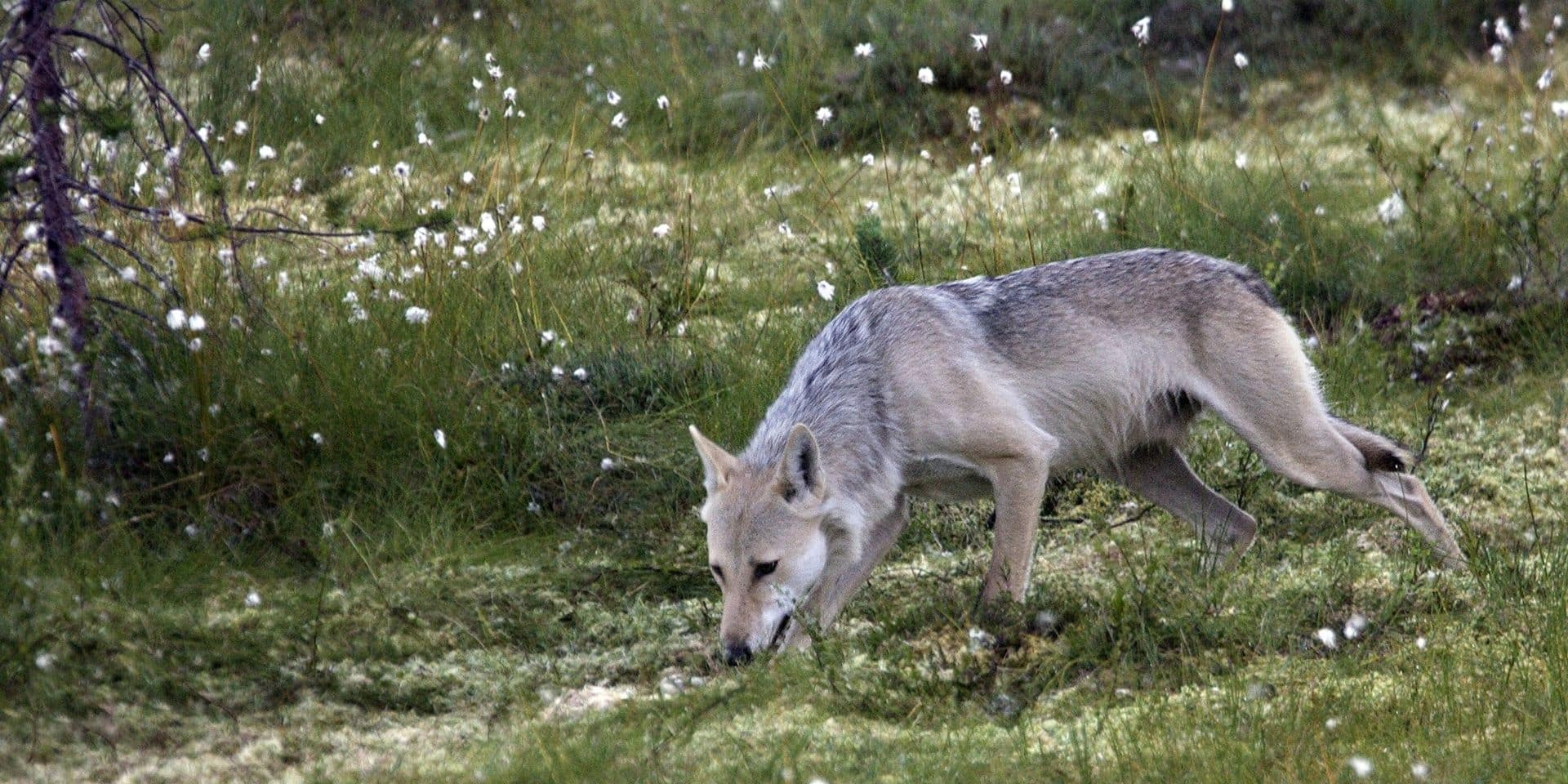 "Loups en Flandre: ""Celui qui ne respecte pas la loi, n'appartient pas à la chasse moderne"""